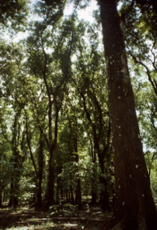 Tall trees in Purwodadi