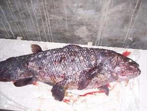 Death Coelacanth