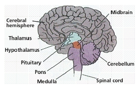 midbrain location