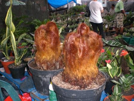 Monkey Fur or Bulu Monyet