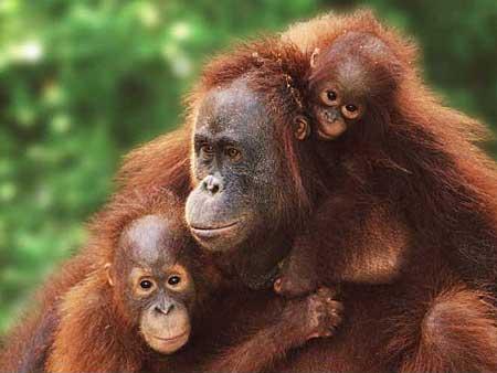 An SOS Sign from Orangutans